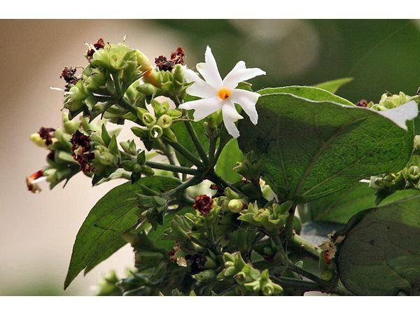 Parijat (Nyctanthes arbor-tristis ឬ Shiuli)៖ អត្ថប្រយោជន៍និងការប្រើប្រាស់សុខភាពដែលត្រូវបានគេស្គាល់តិចជាង ៨ ។