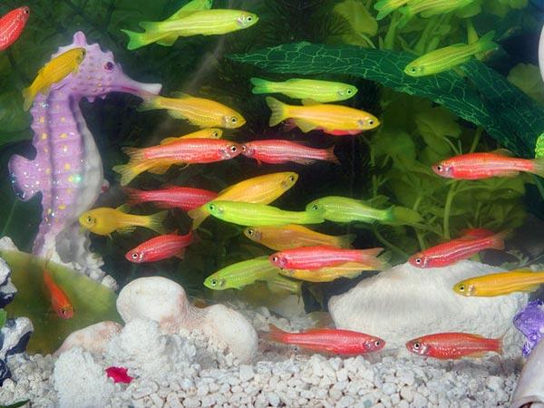 Врсте акваријумских риба за срећу