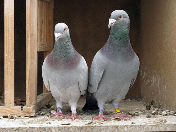 Домашні засоби позбавлення від голубів