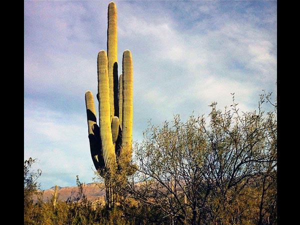10 vrst kaktusa za gojenje doma