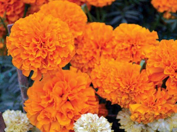 Varalakshmi Puja 2019: Τύποι λουλουδιών που προσφέρουν στους θεούς και τις θεές